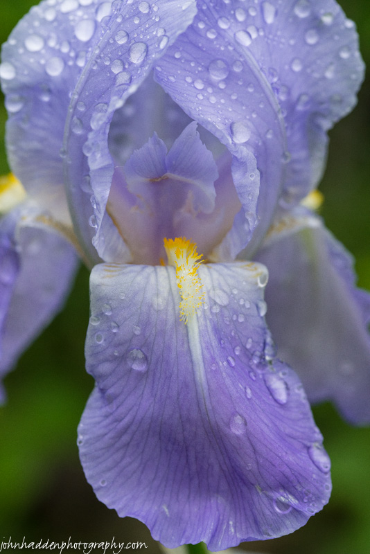 Bearded iris blooming