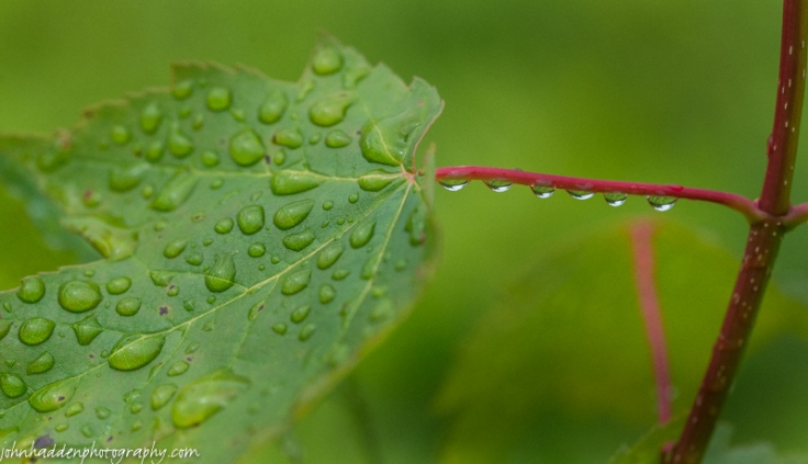 Raindrops bead on a red maple leaf in our front field