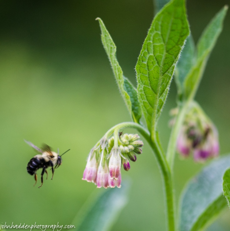 A bumble bee on approach to comfrey blossoms
