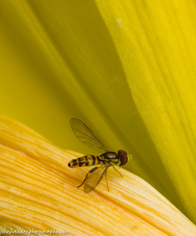 A tachina fly in the folds of a yellow day lily