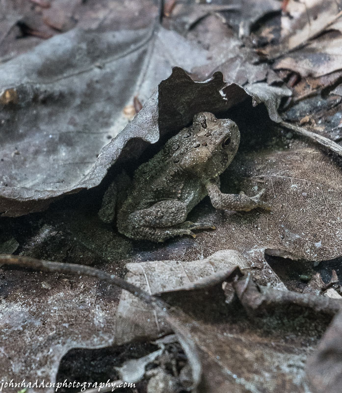 An American toad hides in the leaf litter near Cobb Brook