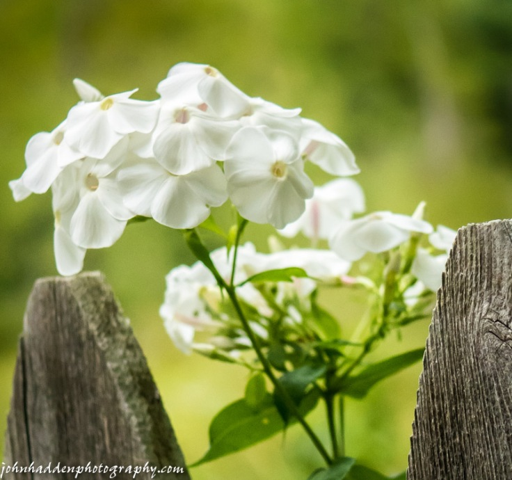 White flox and fence pickets