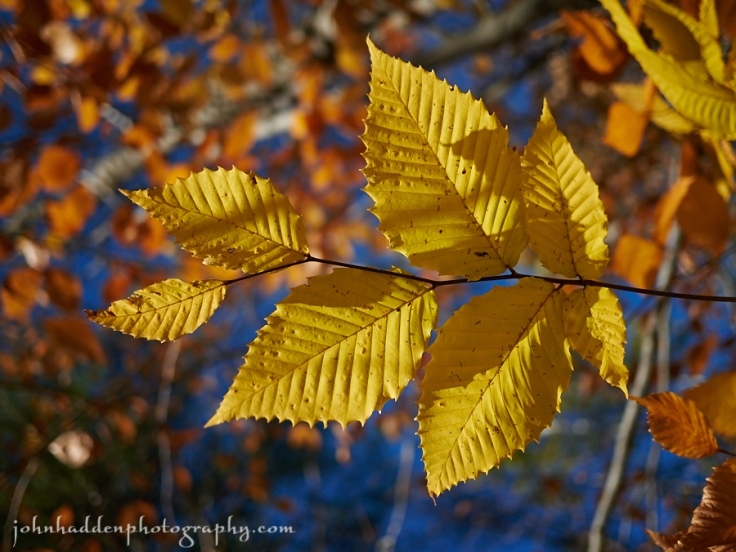 Gold and copper beech leaves against a blue sky
