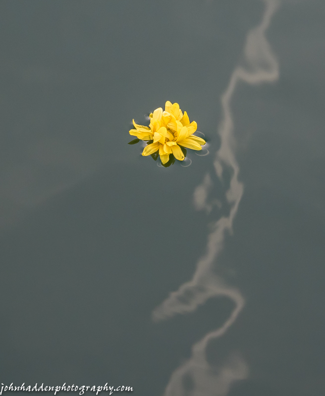 Yellow flower and contrail