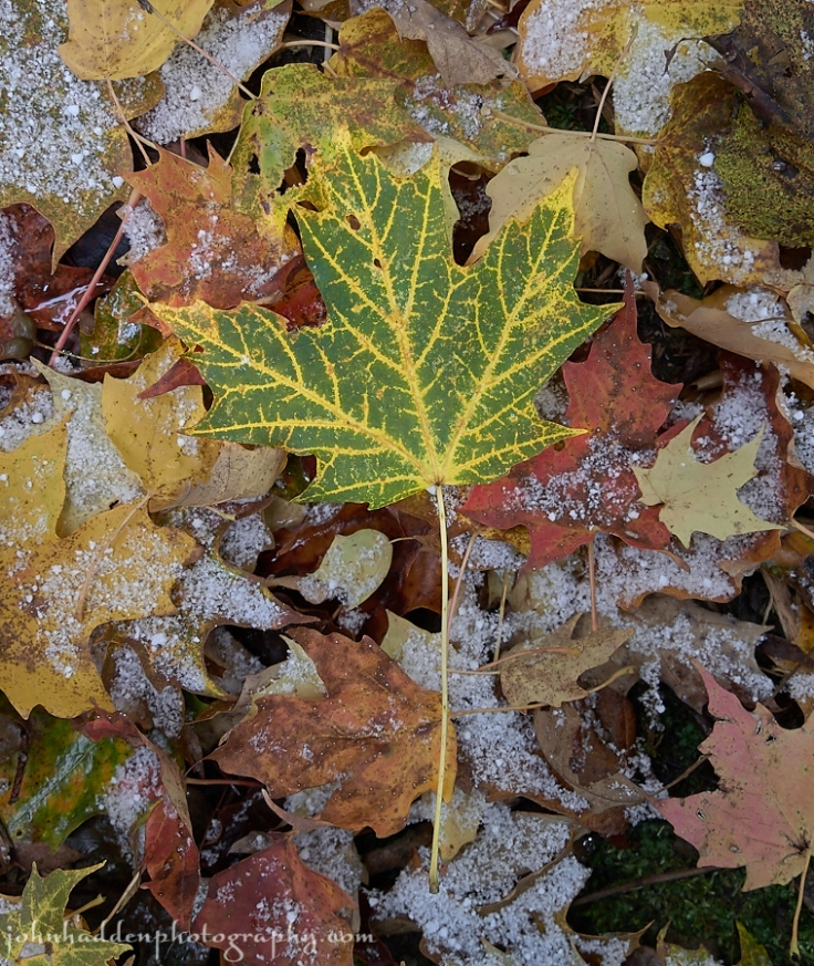 A uniquely veined maple leaf...