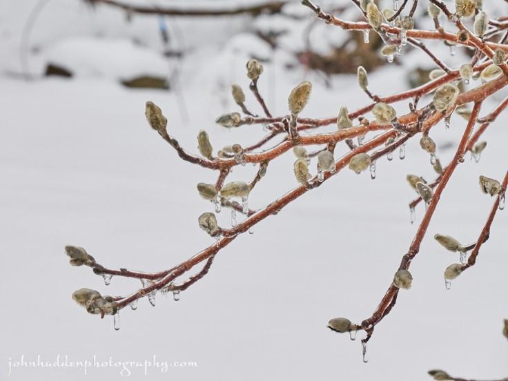 iced-magnolia