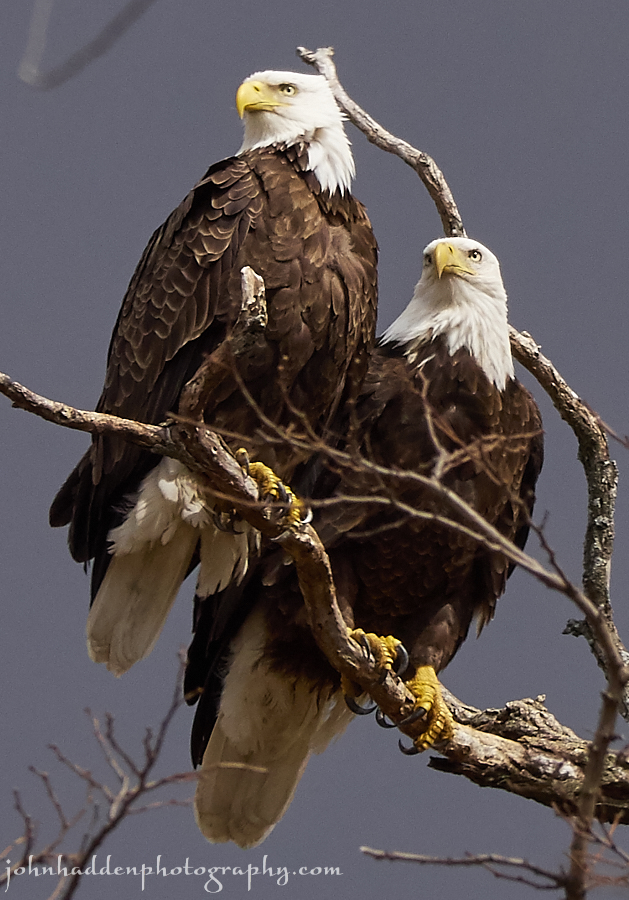 bald-eagles-1