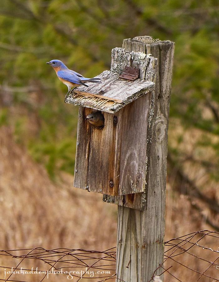 bluebird-pair-box
