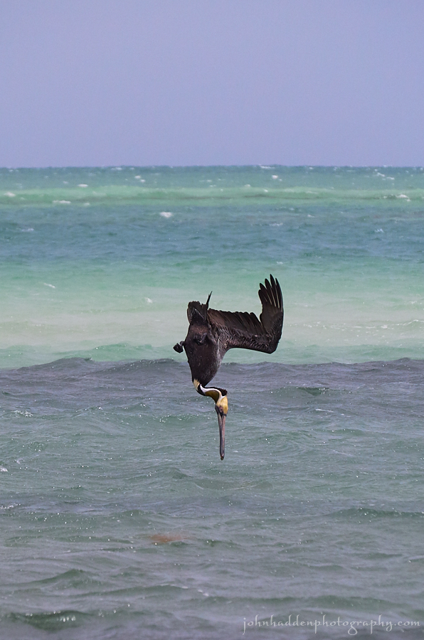 brown-pelican-dive