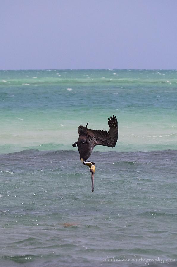 brown-pelican-dive
