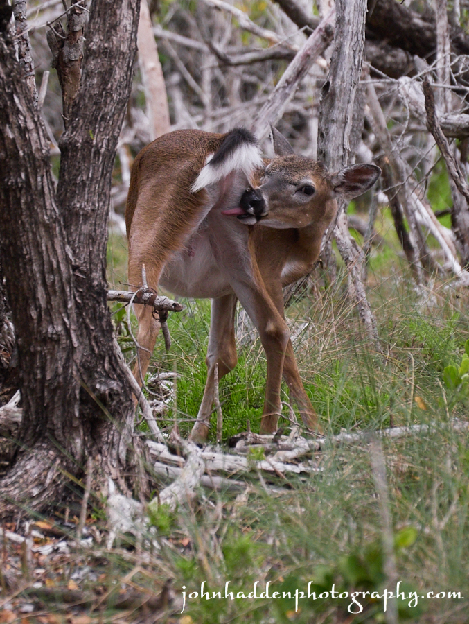 A young Key Deer buck grooming
