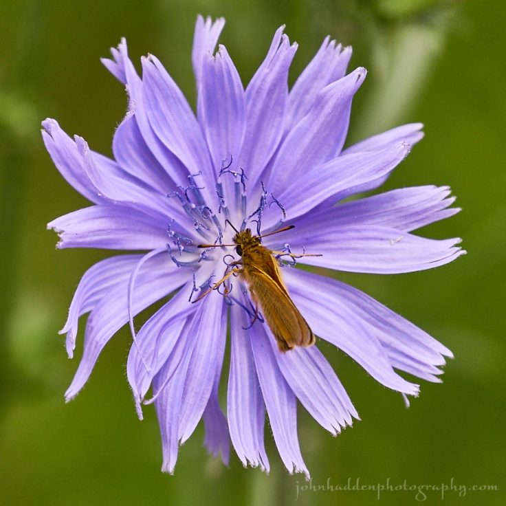 chicory-butterfly