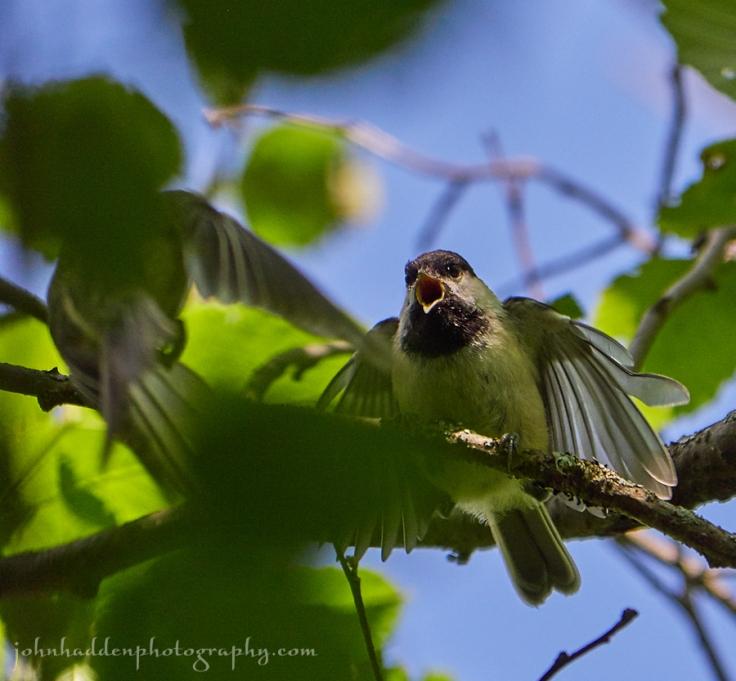 chickadee-fledgling