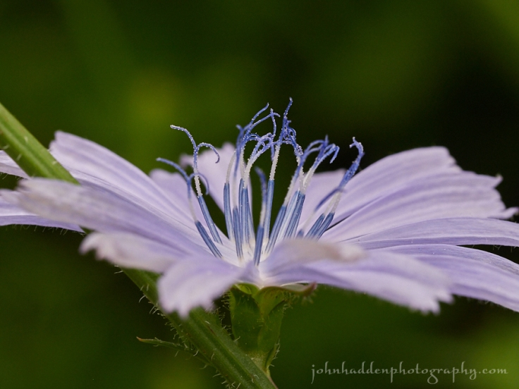 chicory-side