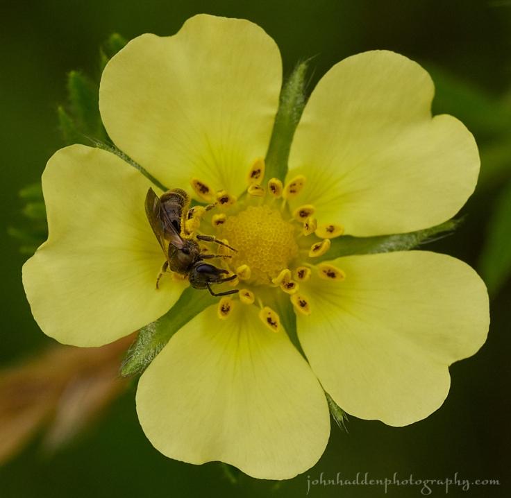 cinquefoil-bee