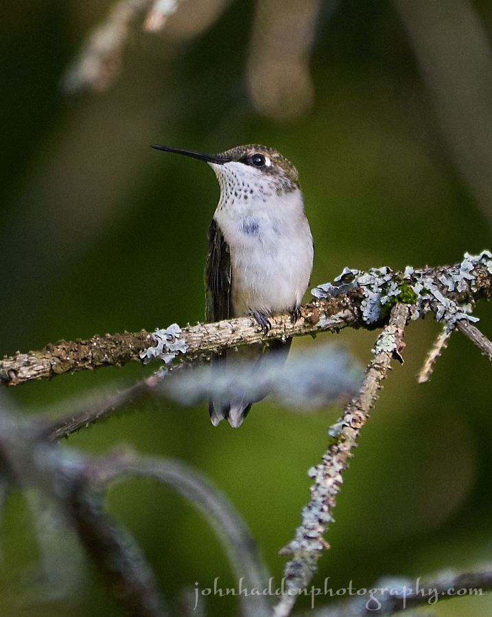 hummingbird-juvinile