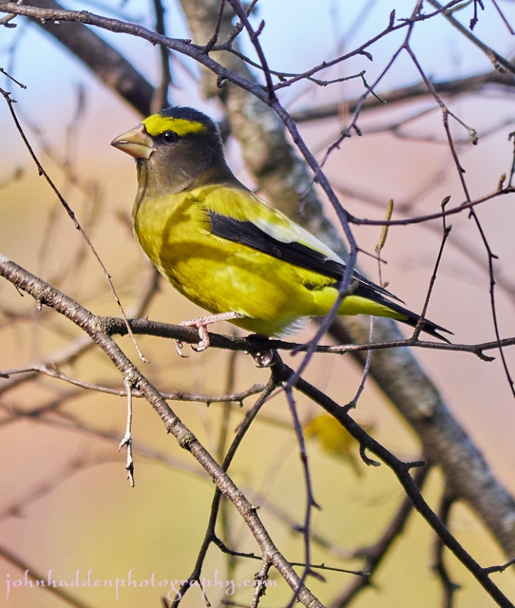 evening-grosbeak