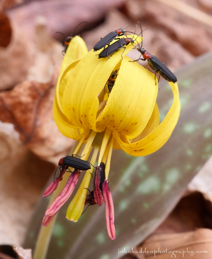 trout-lily-blister-beetles