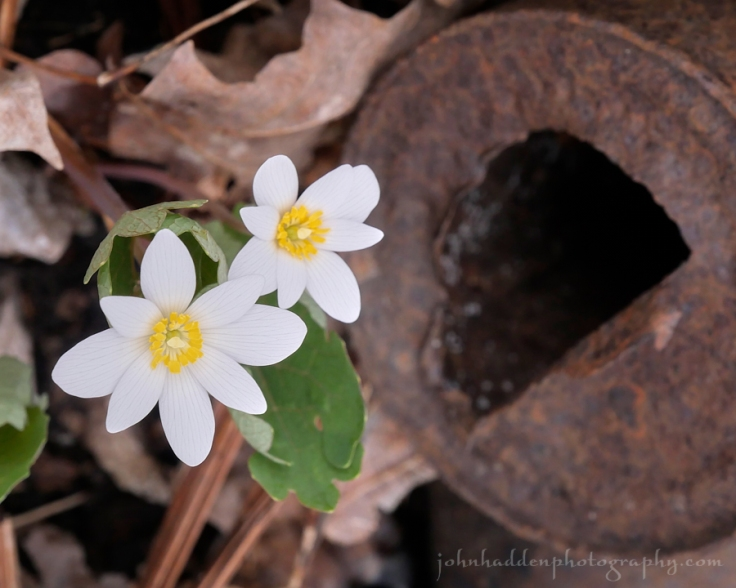 bloodroot-tin-can