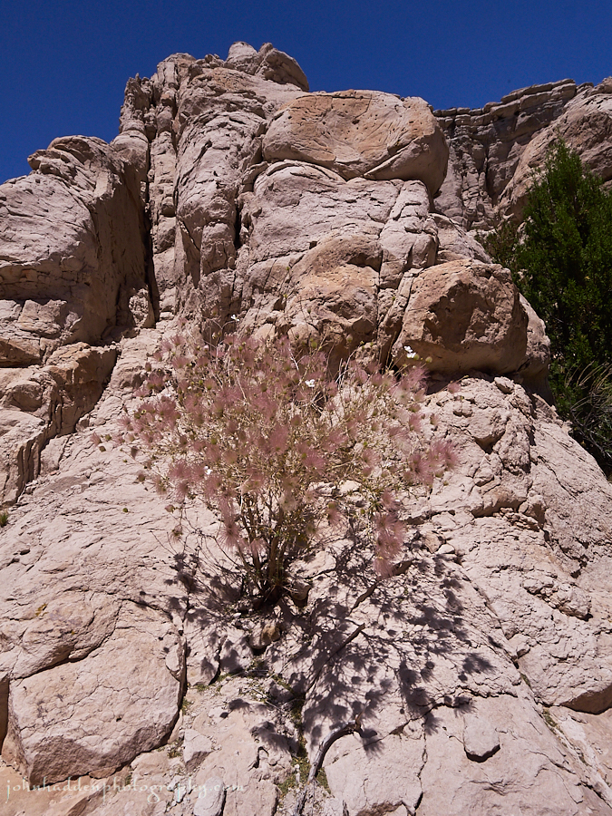 apache-plume-shrub