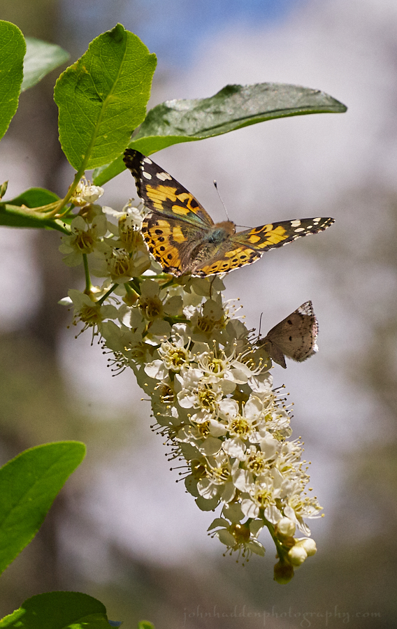 painted-lady-western-white-choke-cherry