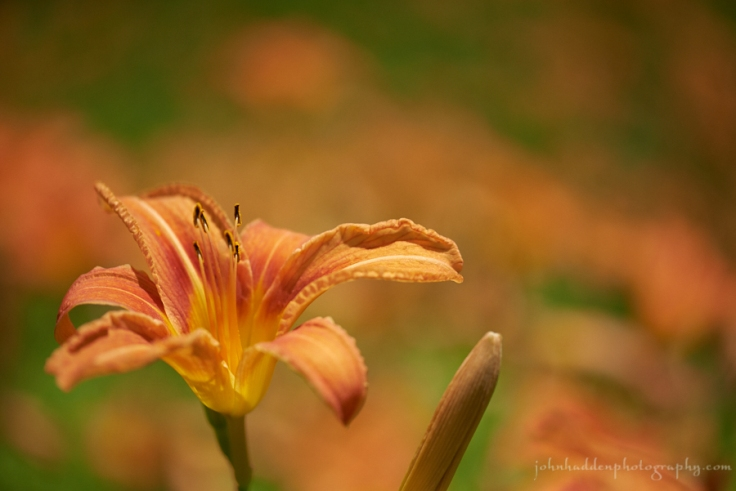 daylily-dream