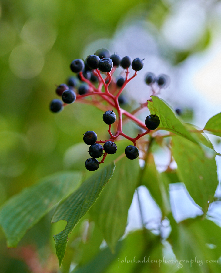 dogwood-berries-2