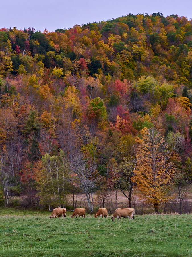 four-cows-meadow-fall