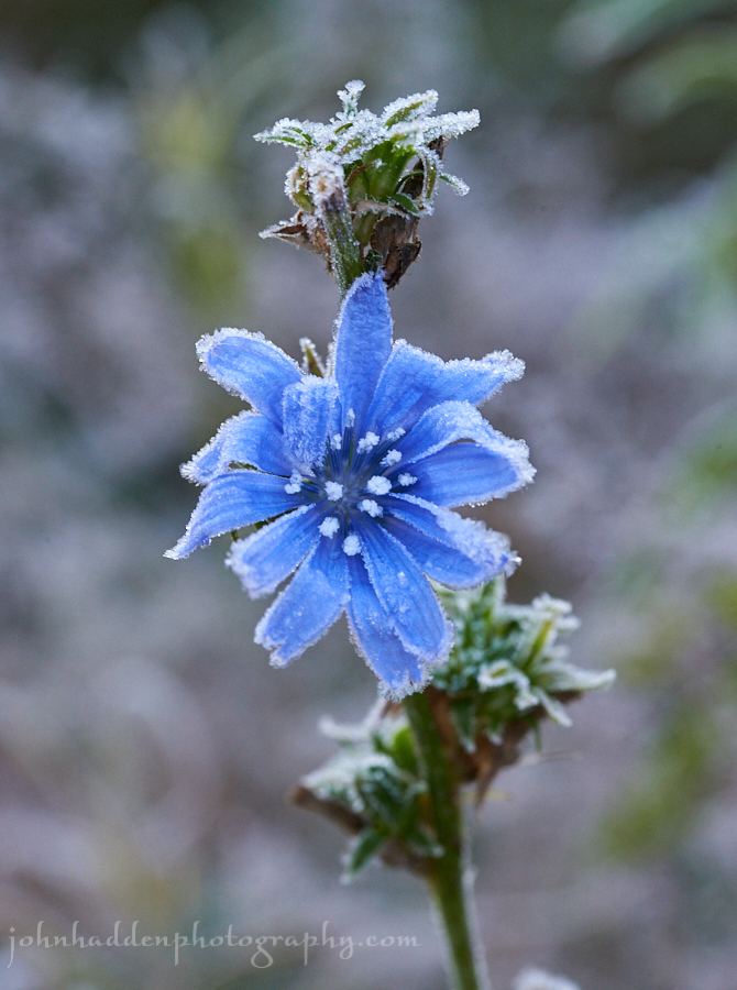frosted-chicory