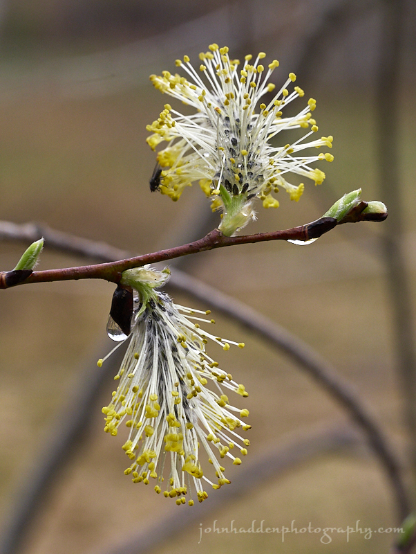 willow-bud-pair