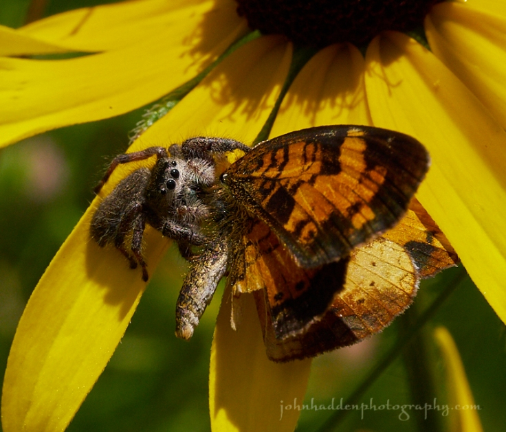 jumping-spider-butterfly