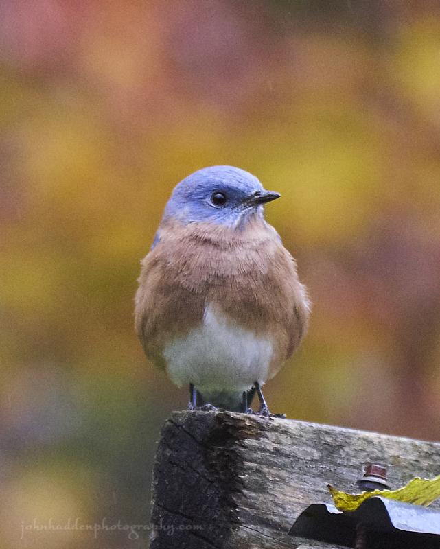 fall-bluebird