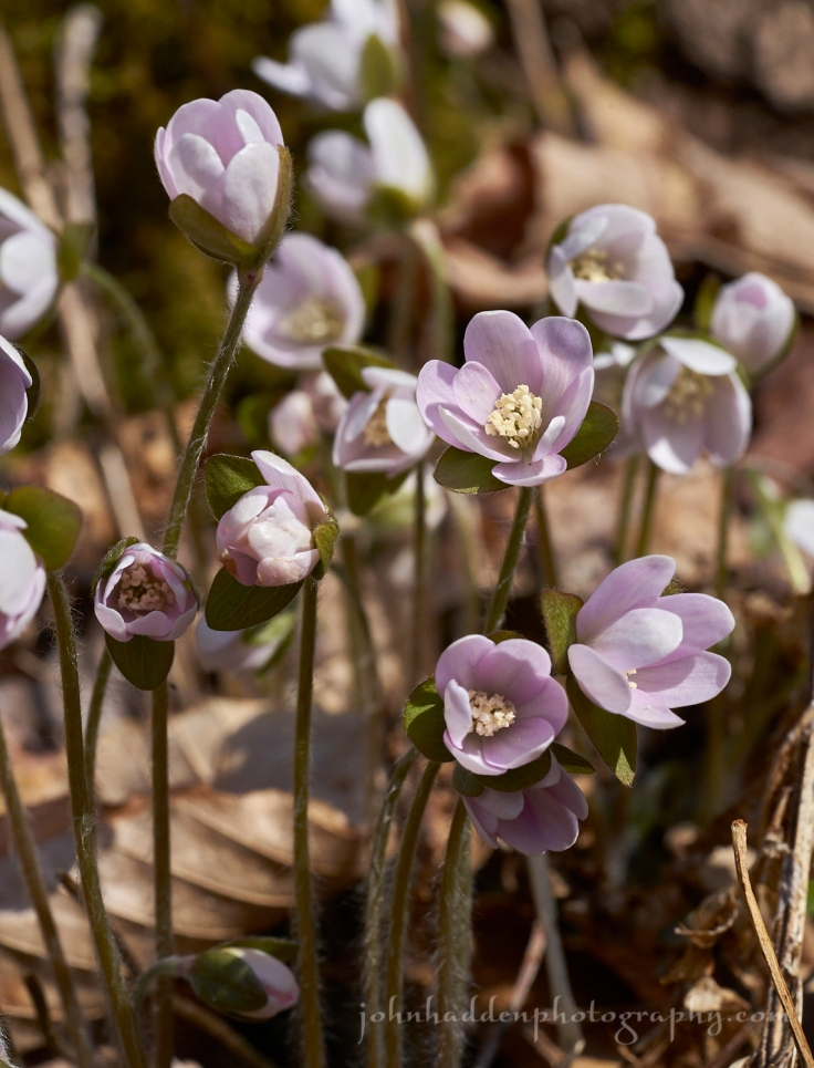 hepatica-bunch