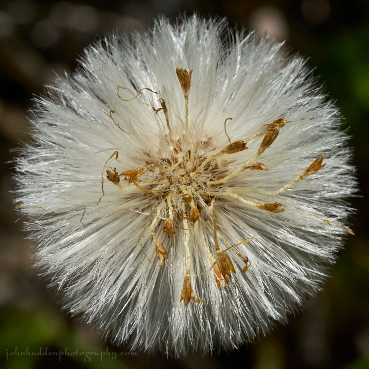 coltsfoot-tuft