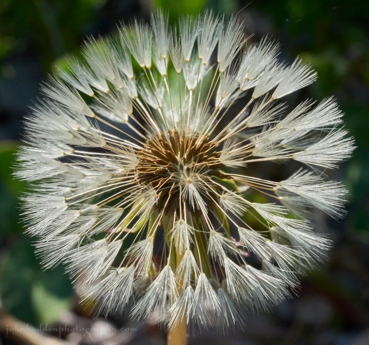 dandelion-seedhead