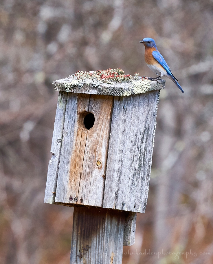 male-bluebird-box