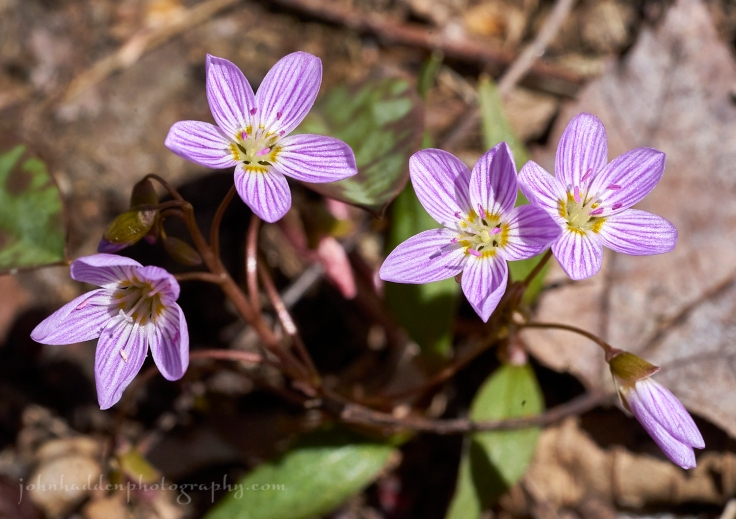 spring-beauties