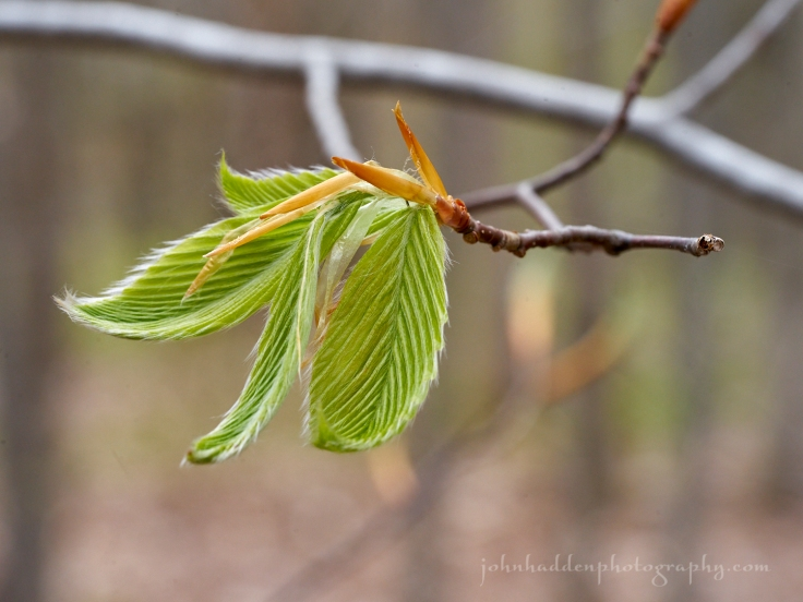 young-beech-leaves